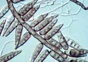 helminthosporium conidia)