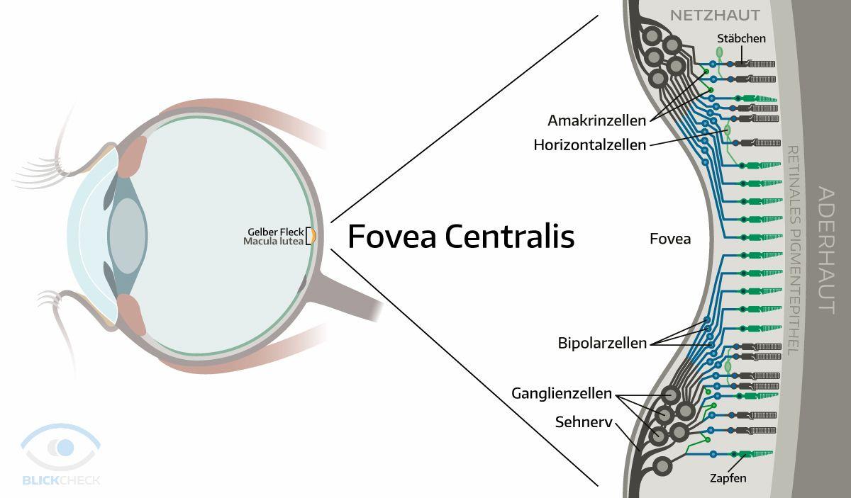 Fovea Centralis | Anatomie und Physiologie des Auges | Pinterest ...