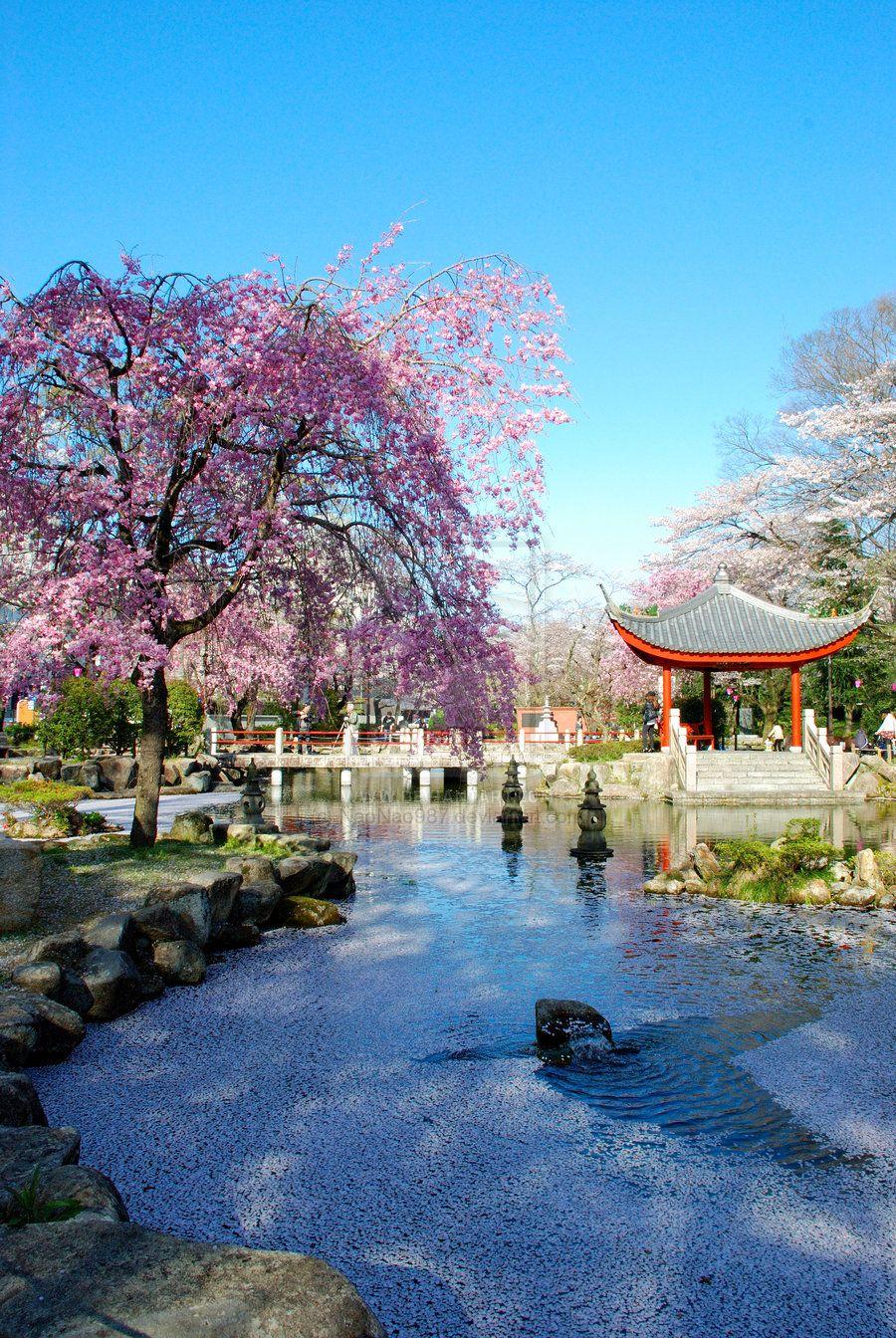 Japanese Cherry Blossoms Cherry Blossom Japan Japanese Garden Design Japanese Garden