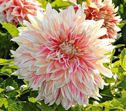 Thats a gorgeous flower new variety dahlia ice cube white white flower farm mightylinksfo Gallery