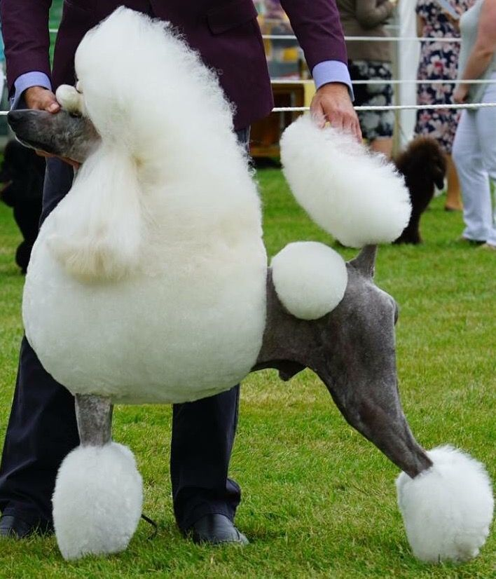 Love The Skin Color On This White Standard Poodle Standard