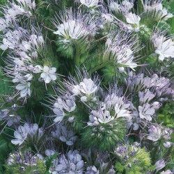 Phacelia Cottage Garden - Seeds
