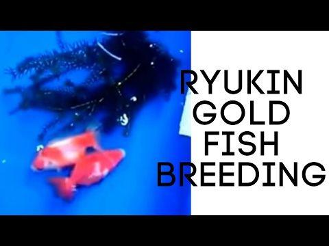 Breeding Goldfish Koi For Sale Philippines Goldfish Ryukin Goldfish Goldfish Breeding