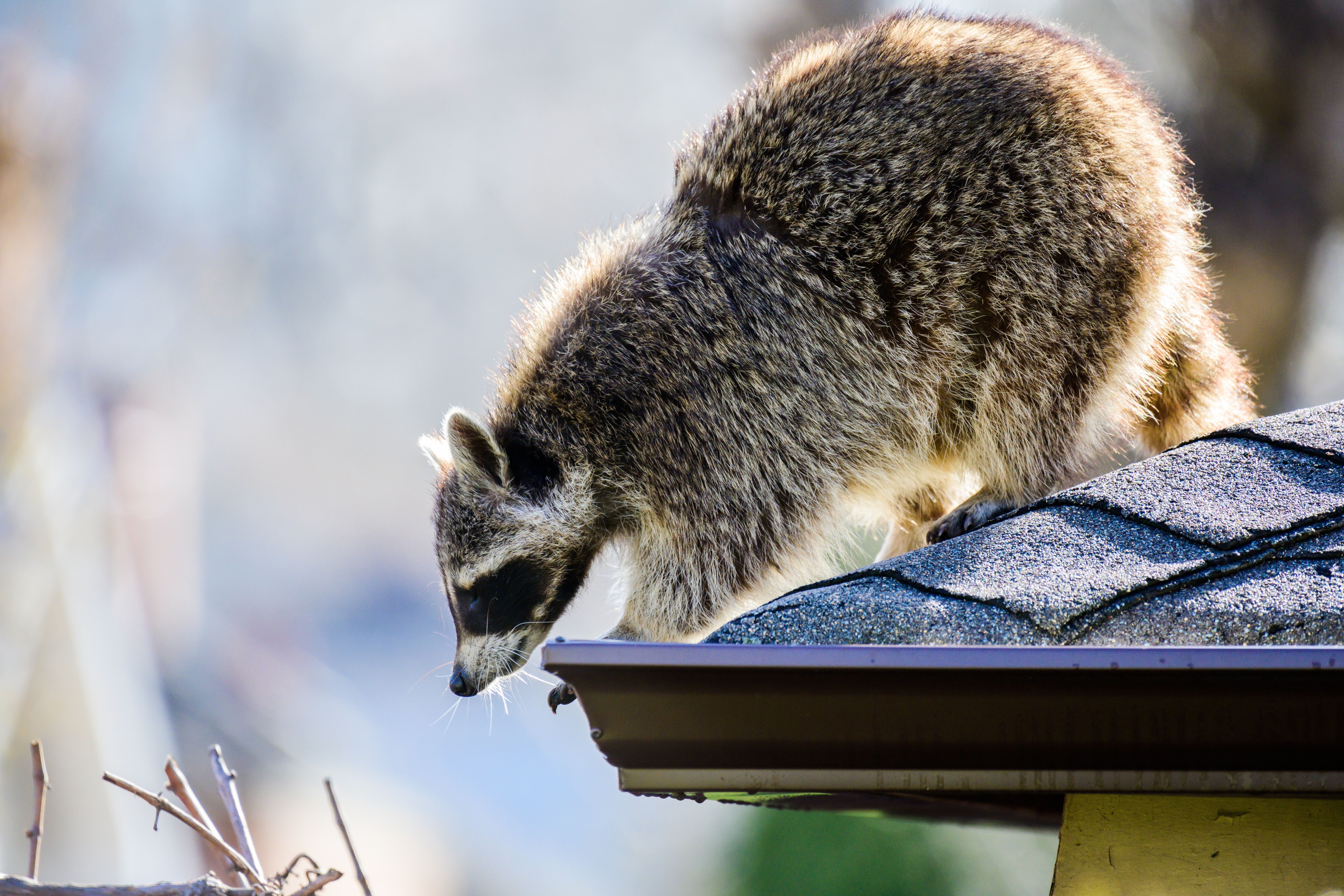 Our Wildlifeexperts Are Trained In Control And Removal Of Raccoons Squirrels Skunks Foxes Rabbits Groundhogs Deer Bats S Raccoon Wildlife Live Animals
