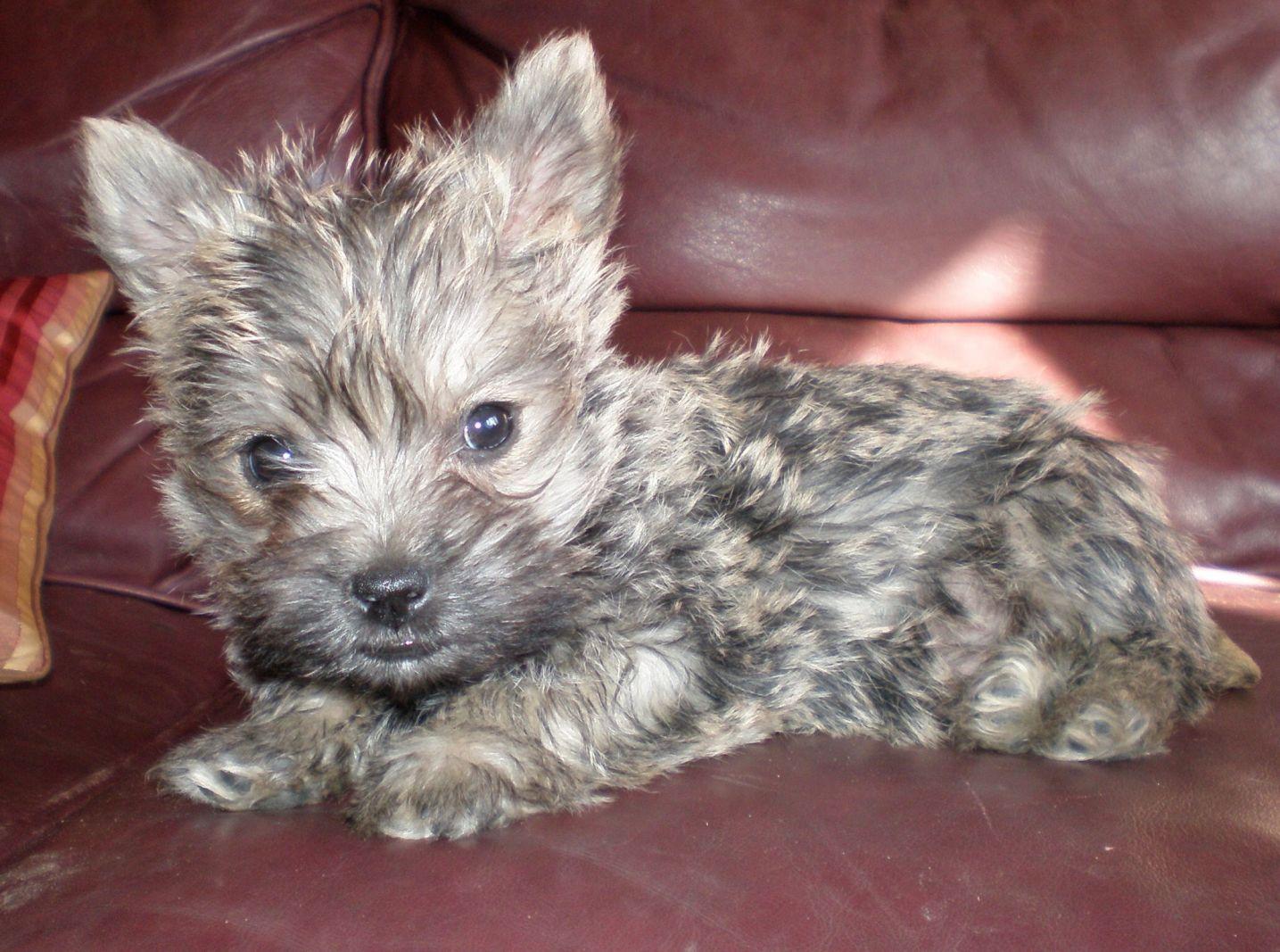 Cairn Terrier Eddie Terrier Cairn Terrier Dog Basket