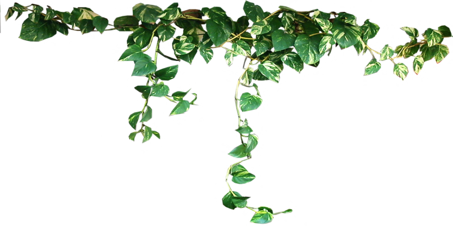 Draped Devils Ivy By Lilipilyspirit On Deviantart Plants Trendy Plants Climbing Vines
