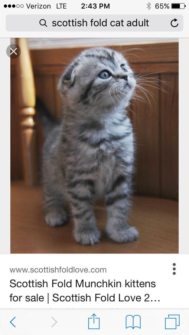 Aww A Scottish Fold War Cats Scottish Fold Kittens Cat