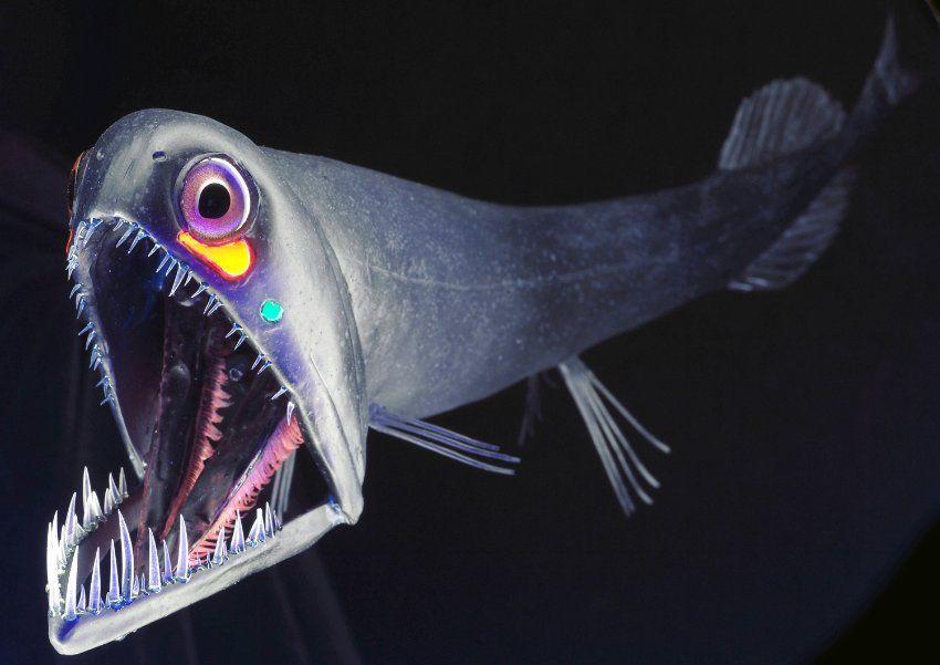 Schwarzer Drachenfisch