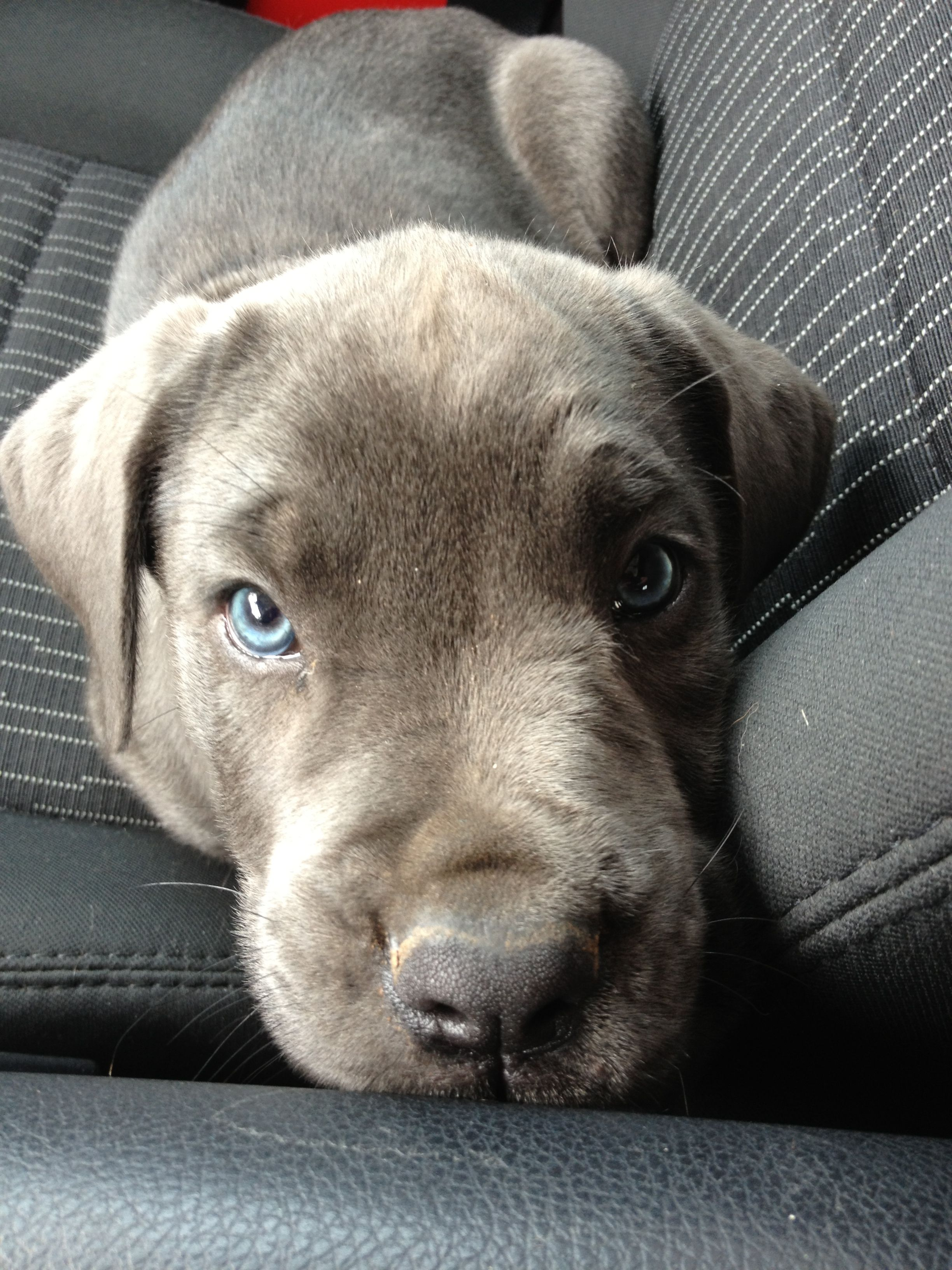 9 Week Old Blue Cane Corso Definitely Want A Blue Female Next