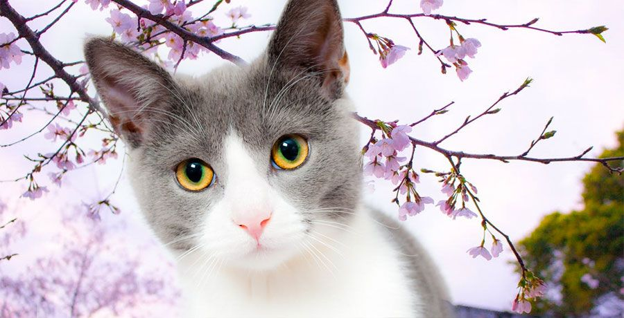 Japanese Cat Names Stunning Names For Cats 200 Ideas Japanese Cat Cat Names Crazy Cats