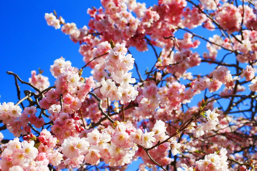 Merry Cherry Blossoms By Noor Raihan Binti Ahmad On 500px Blossom Red Peppercorn Merry