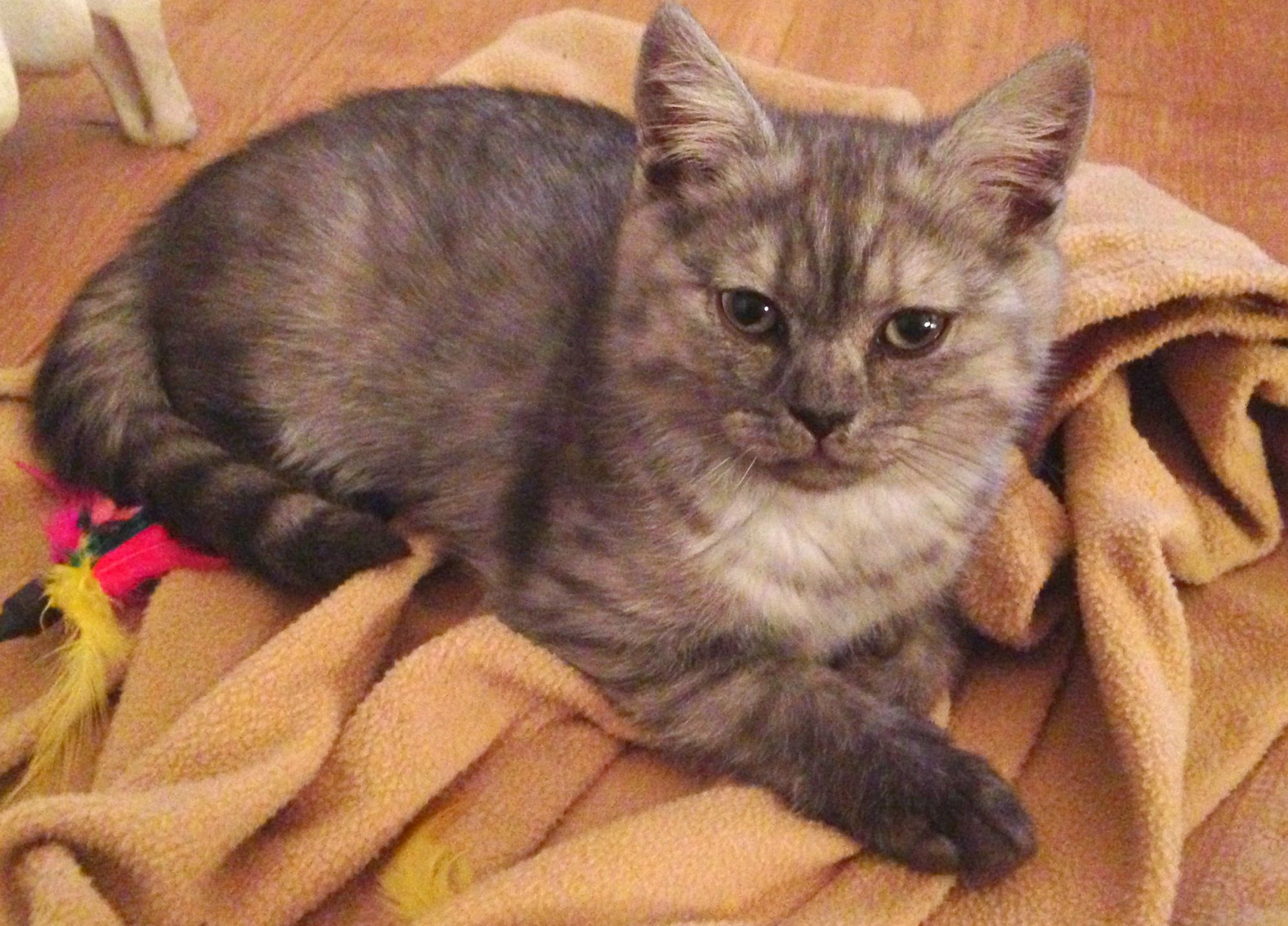 Helmut British Shorthair 14 Weeks Old Cute Cats And Kittens Cute Animals Cute Cats