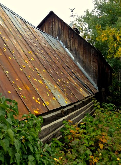 Autumn Aspen leaves on old cabin, Crested Butte, CO