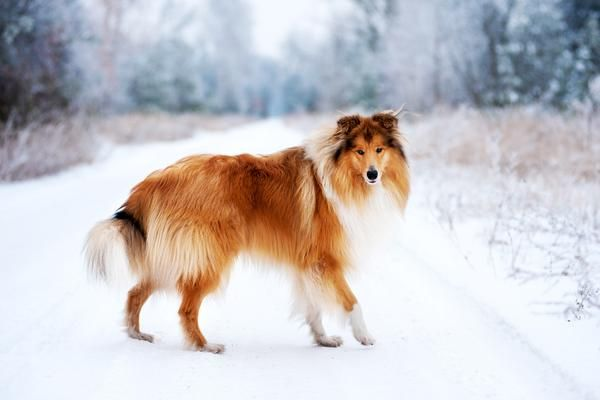 Collies Health History Appearance Temperament Maintenance