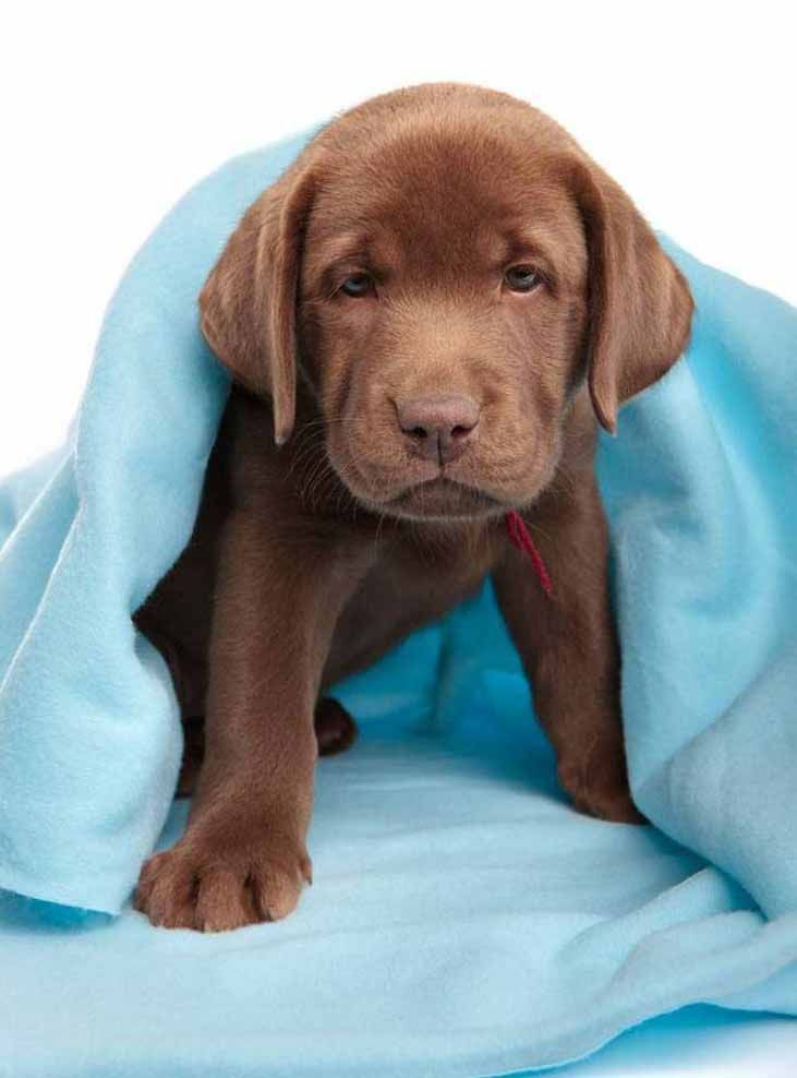 Male Dog Names Top Ideas For The Popular Male Puppy Cute Lab Puppies Lab Puppy Cute Animals