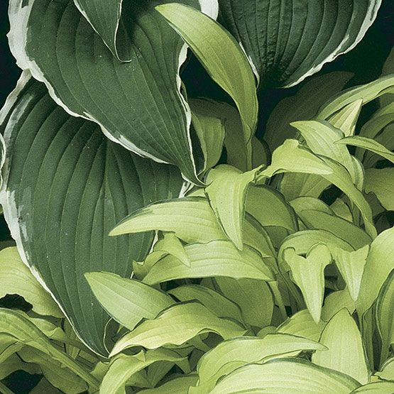 Hosta 'Fortunei Albo-marginata' (Hosta)  Zone 3