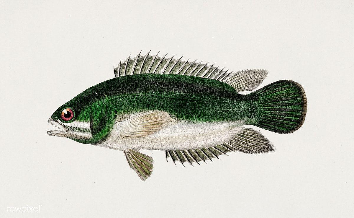 Download Premium Illustration Of Climbing Perch Anabas Testudineus In 2020 Illustration Fish Illustration Drawn Fish
