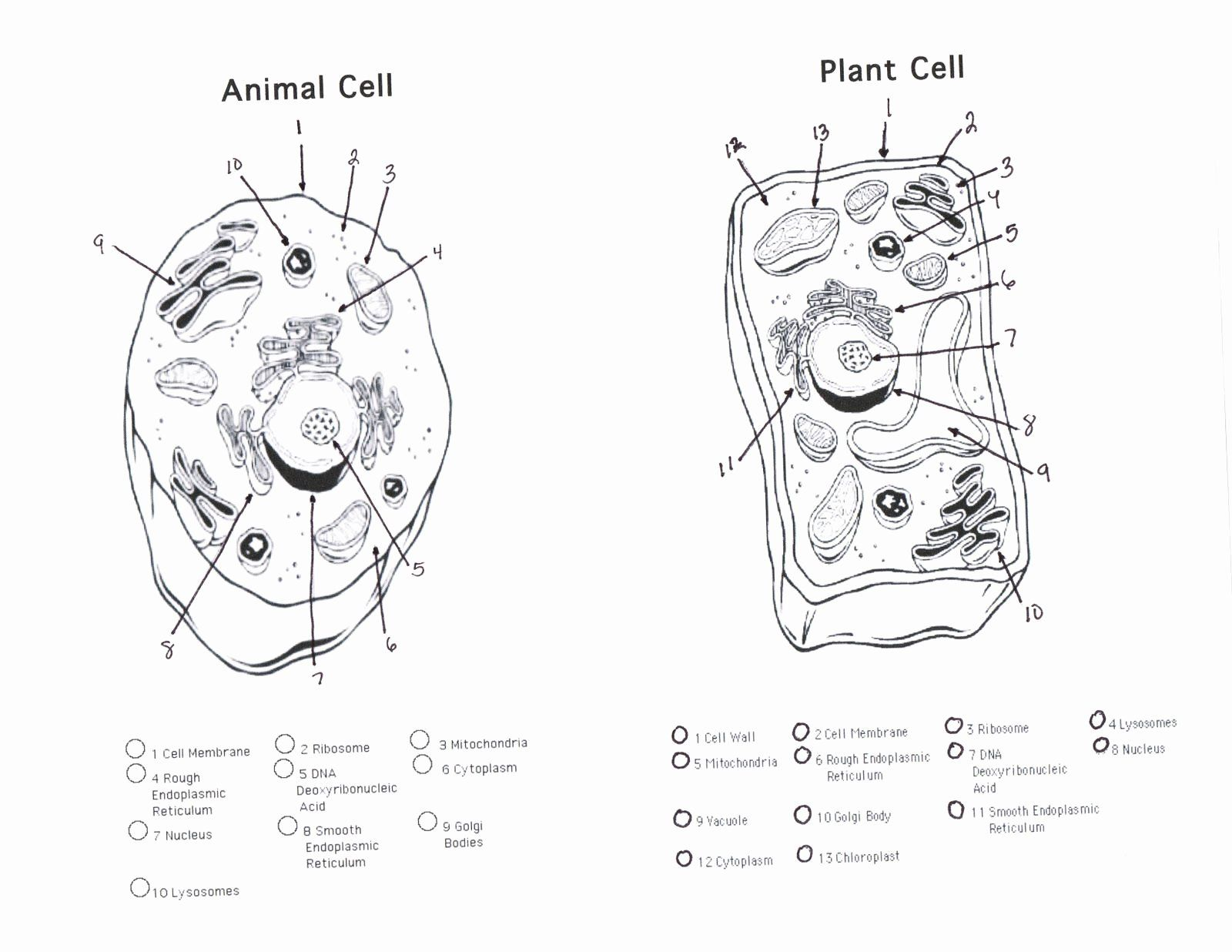 Animal And Plant Cells Worksheet Inspirational 1000 Images About Plant Animal Cells On Pinterest Chess In 2020 Animal Cells Worksheet Plant Cell Drawing Cell Diagram