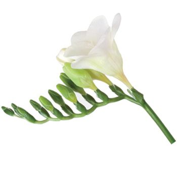 White Freesia Flower For Bouquets Boutonnieres More White Wedding Flowers Wholesale Flowers Wedding Vintage Wedding Flowers