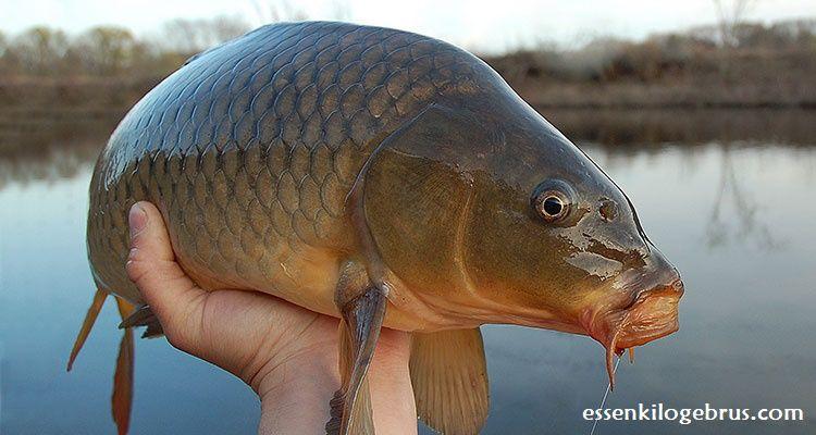 Hanya Disini Kami Memberikan Informasi Seputar Cara Membuat Umpan Ikan Jitu Dan Ampuh Dengan Aquatic Essen Oplosan Terbaik Yang Sudah Terb Ikan Mas Babon Essen