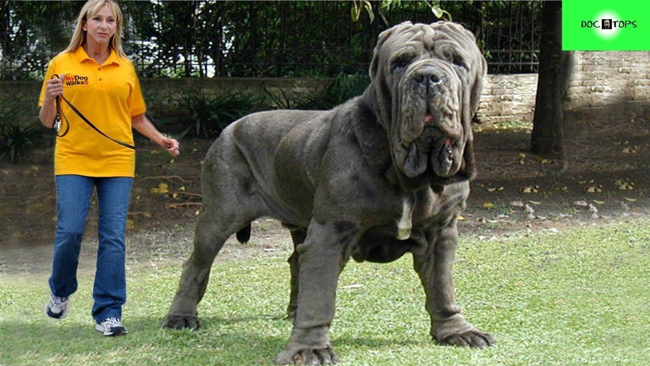 Top 10 Perros Más Grandes Del Mundo Big Dog Breeds Worlds Biggest Dog Giant Dog Breeds