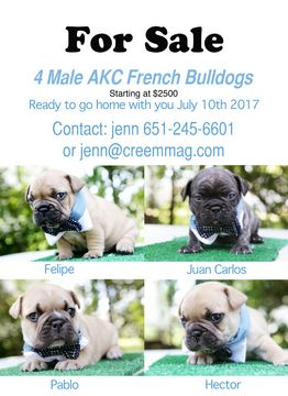 French Bulldog Puppy For Sale In Marine On Saint Croix Mn Adn