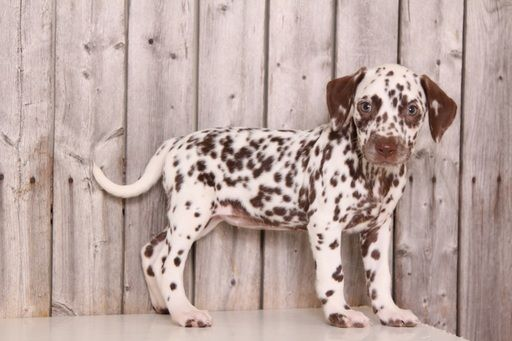 Dalmatian puppy for sale in MOUNT VERNON, OH. ADN45876 on