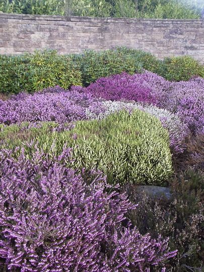 Spring Flowering Heathers At The Entrance To A Local Park Heather