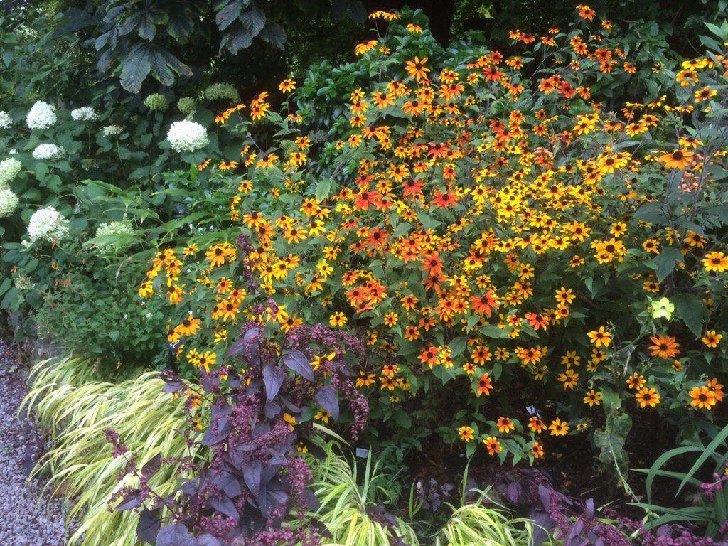 Rudbeckia 'prairie glow' in 'Special Plants' garden nor. Bath
