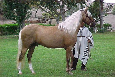 Paso Peruano 5 Raça de Cavalos Paso Peruano