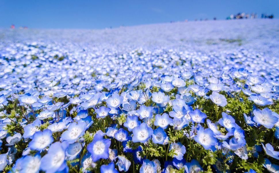 Blue Flowers Field Hd Wallpaper