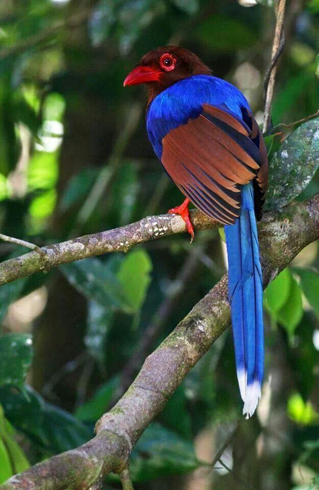 Oriental Bird Club Image Database : Sri Lankan Blue Magpie