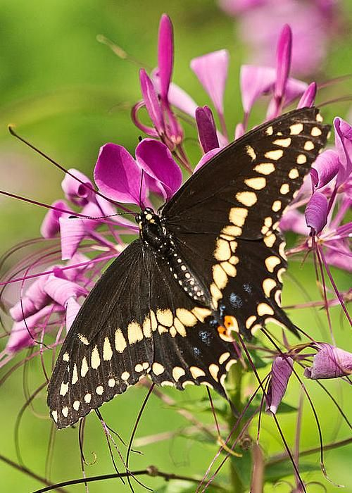 Black swallowtail by Theo OConnor