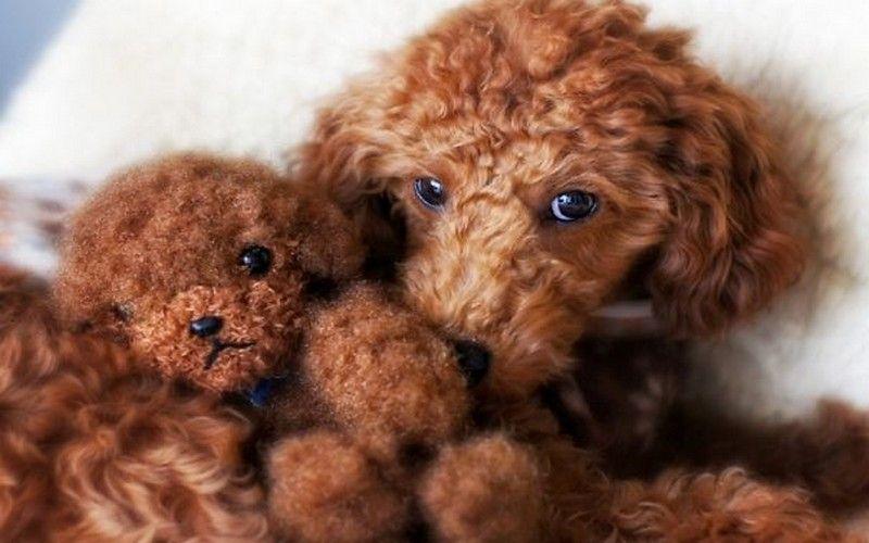 Good Teddy Bear Chubby Adorable Dog - 9b71dcd2f545cdeb76977c8d33441f7d  Picture_459590  .jpg