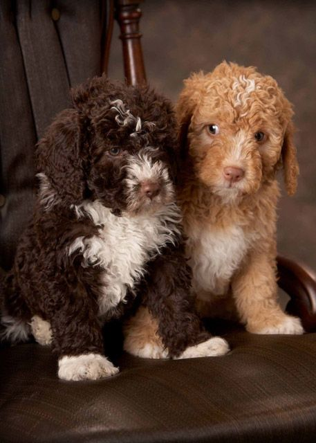 Spanish Water Dog Pups, the brown and white one looks like ...