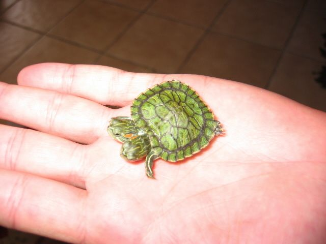 Two Headed Red Ear Slider Turtle For Sale Picture 3 Jpg 640 480