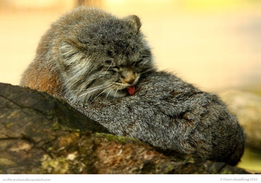 The range of the pallas cat extends from Iran through southern Asia to parts of western China. Its habitat varies from rocky desert through steppes to barren mountainous regions up to about 15,000 ... In-the-picture