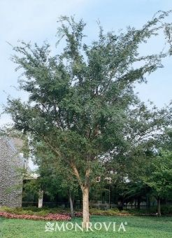 Drake Elm Common Landscape Tree Another Specimen That Makes You Go Ugggh Drake S Chinese Elm Monrovi Shade Trees Chinese Elm Tree Tree Garden Design