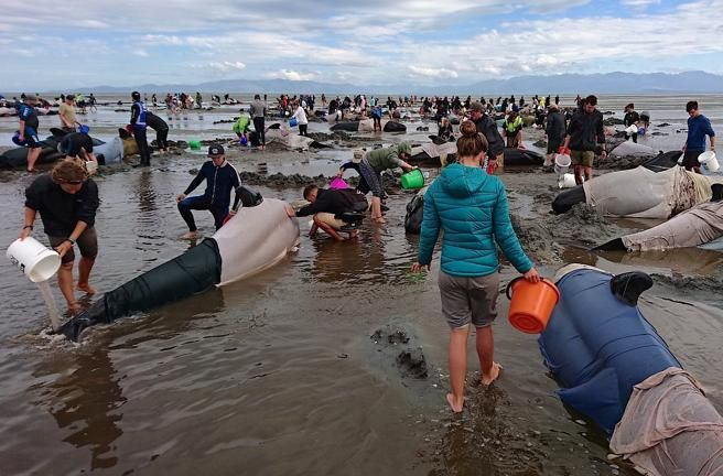Los expertos investigadn las causas del nuevo varamiento masivo en esa zona de Nueva Zelanda