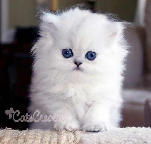 White Kitten With Big Blue Eyes Persian Kittens Persian Kittens For Sale White Persian Kittens