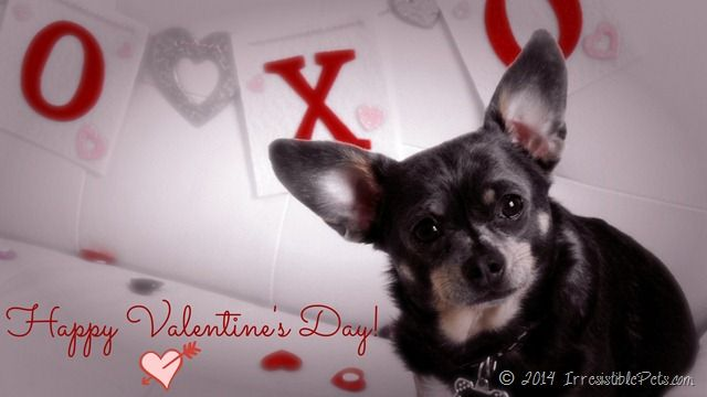 Happy Valentine 39 S Day From Chuy Chihuahua Irresistible Pets