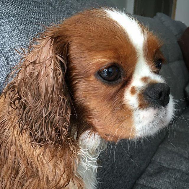 🚿 🛀 #ckc #cavalierkingcharles #kingcharles #puppy #cavalier #cavlife #cav #puppylife #dogsofinstagram #cavalierpuppy #cavaliertira #puppylove #cutepuppy #puppiesofinstagram #cavitude #cavaliersofinstagram #cavlove #ckcs #dogsofig #dailydog #puppisofig #blenheim #instacav #ilovemycavalier