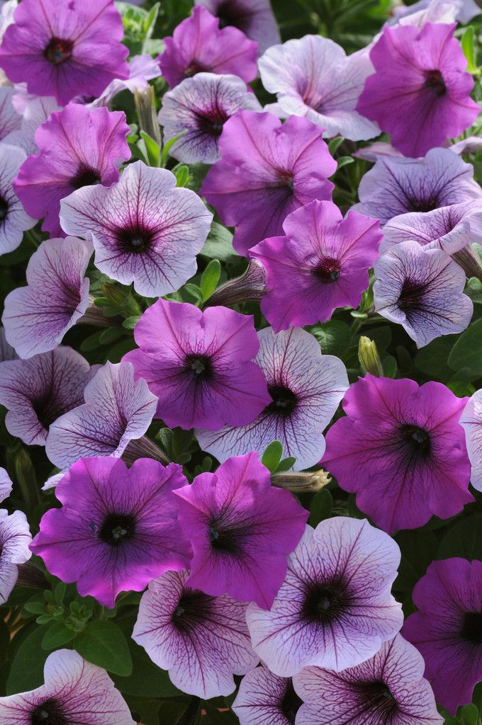 100 Pelleted Petunia Seeds Easy Wave Plum Pudding Mix Petunia Flower Petunias Container Flowers