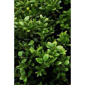 Monrovia 358 Gallon Yellow Green Tower Boxwood P15243 Flowering