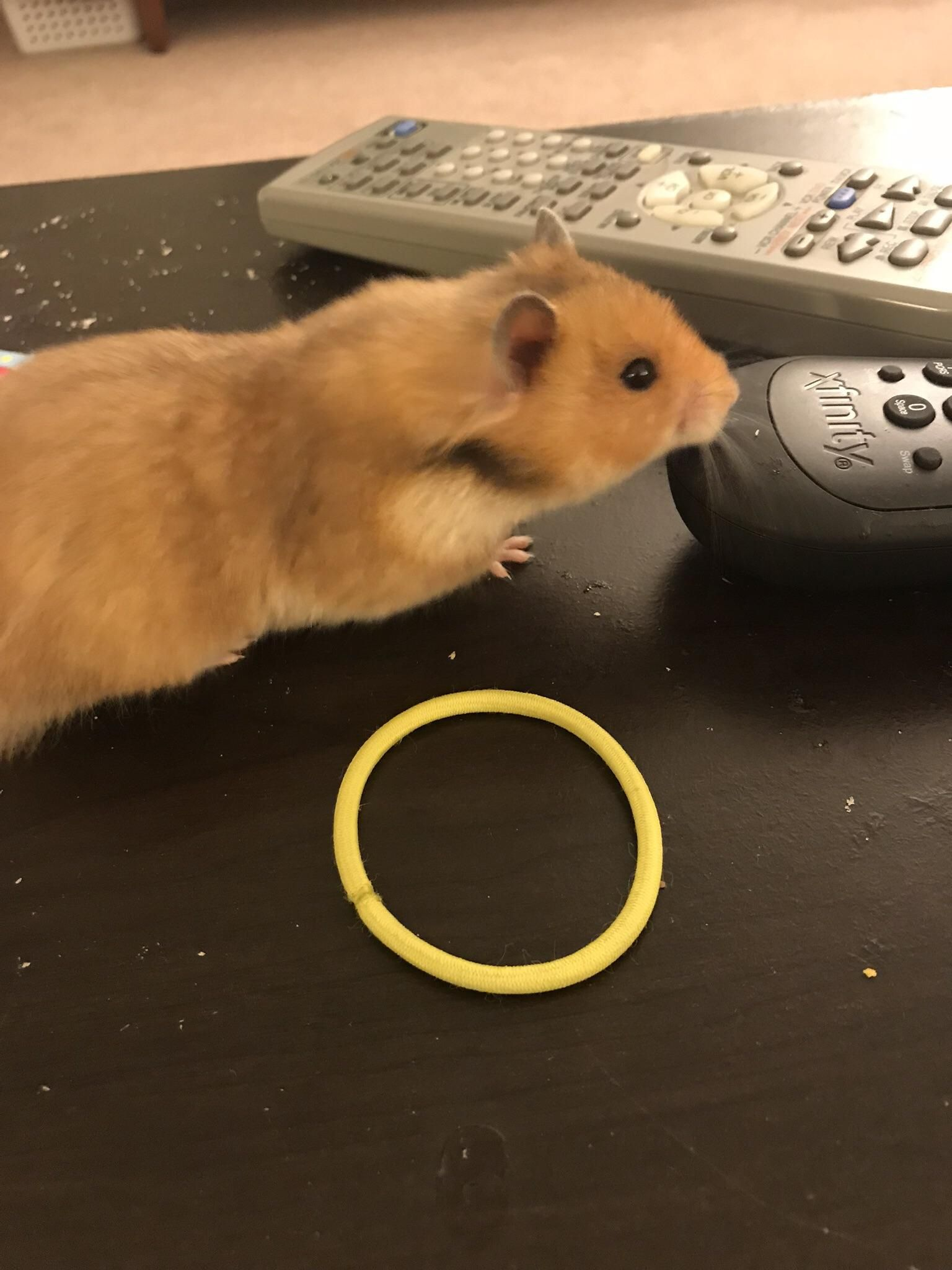 Mom Can I Change The Channel Http Ift Tt 2eluapa Hamster Cute Hamsters Aww
