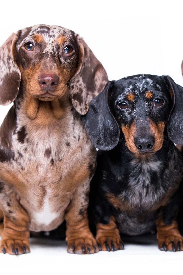 Three Dogs Of Dachshunds Of Rare Colors Dachshund In 2020 Dachshund Pets Dachshund Puppy Funny Dachshund Puppies