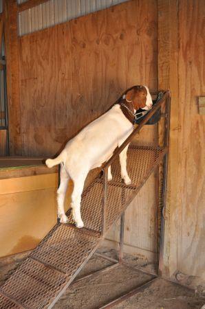 Market goat/market sheep feeding ramps   good muscle/meat