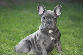 Hedendaags franse bulldog blauw - Google zoeken   French bulldog, Bulldog AF-27