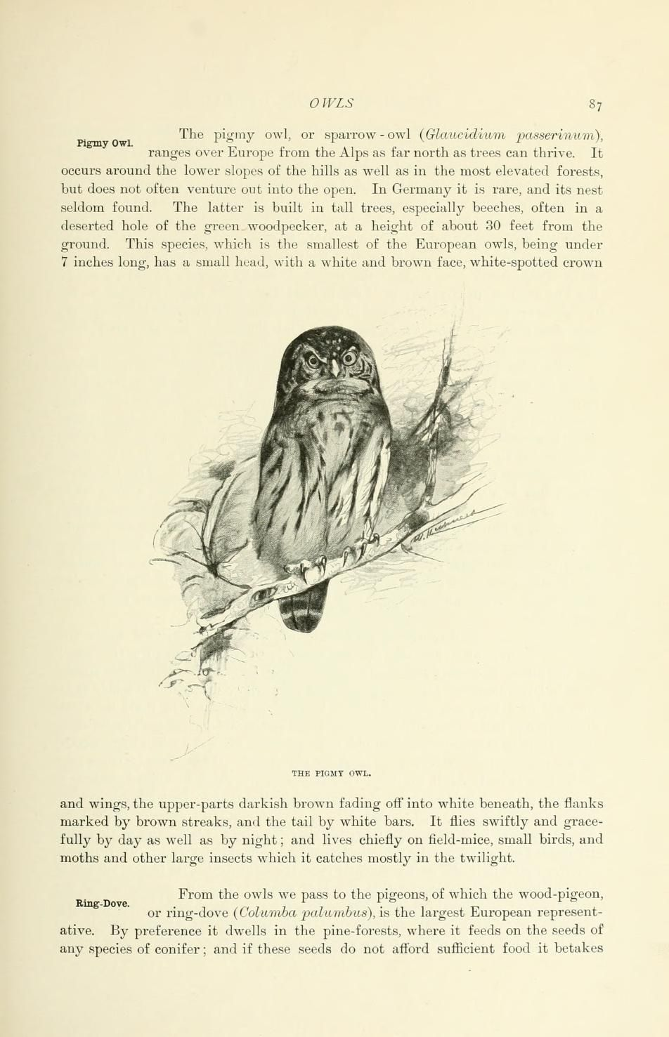 Pigmy Owl, Wild Life of the World, Richard Lydekker, 1916.