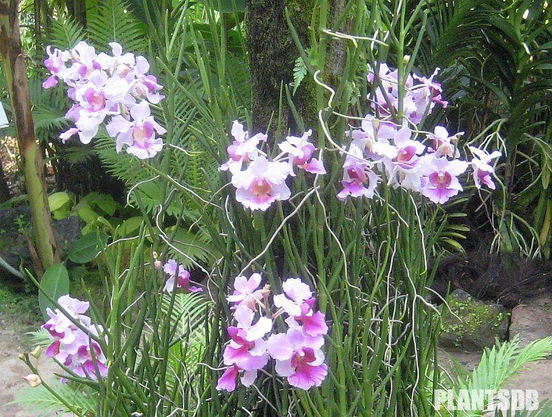 Papilionanthe Miss Joaquim Vanda Miss Joaquim Orquideas Orquidea Jardim